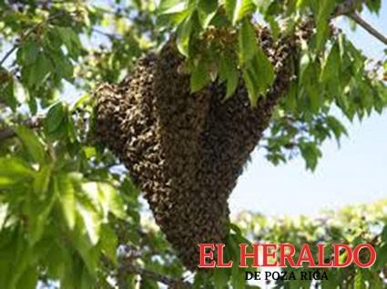 Temperaturas aumentan los enjambres de abejas