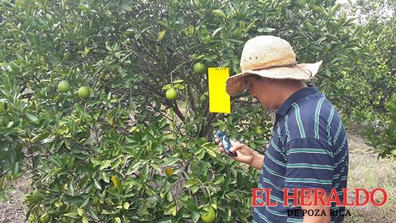 Vigilan cultivos de cítricos ante posible brote de HLB