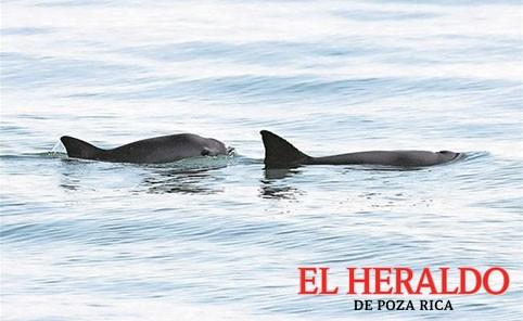 Vaquita marina no desaparecerá: Semarnat