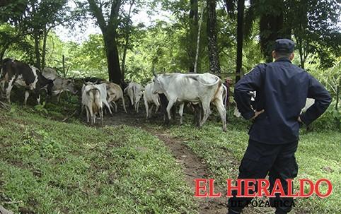 Se recrudeció el robo de ganado
