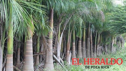 """En extinción la palma """"real"""" en el Totonacapan"""