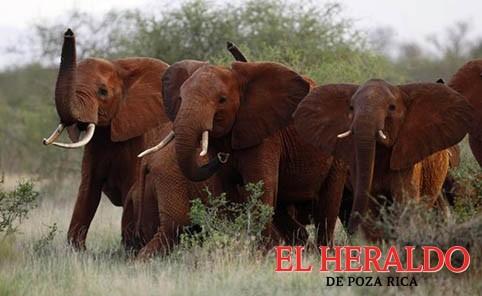 Importarán partes de elefantes africanos