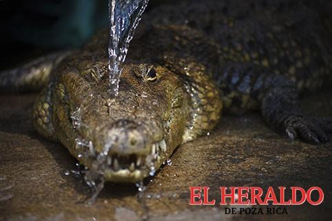 Decomisa 92 cocodrilos a UMA de G. Zamora