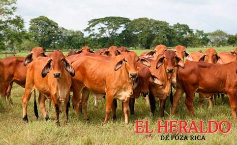 Buscan mejorar producción de ganado