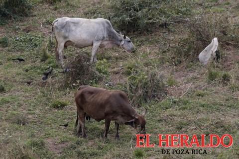 Roban 100 cabezas de ganado de un rancho en Papantla