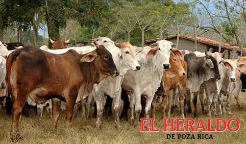 Buscan incrementar la reproducción de ganado