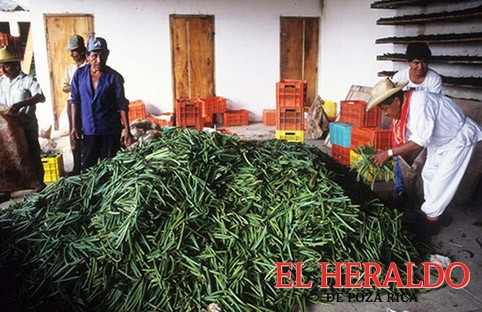 Se pierden más de 400 toneladas de vainilla