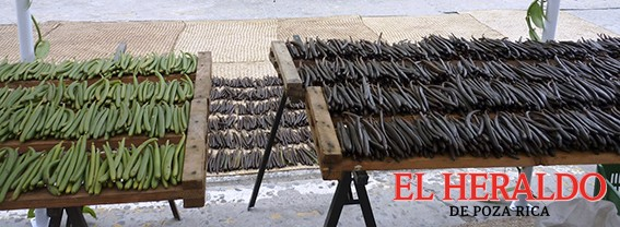 En riesgo producción de vainilla