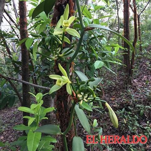 El Heraldo de Poza Rica - Estiaje arrasa con 60% de vainillales